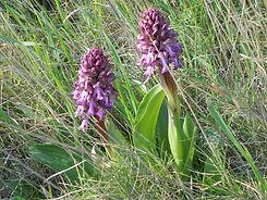 de nombreuses variétés d'orchidées sauvages