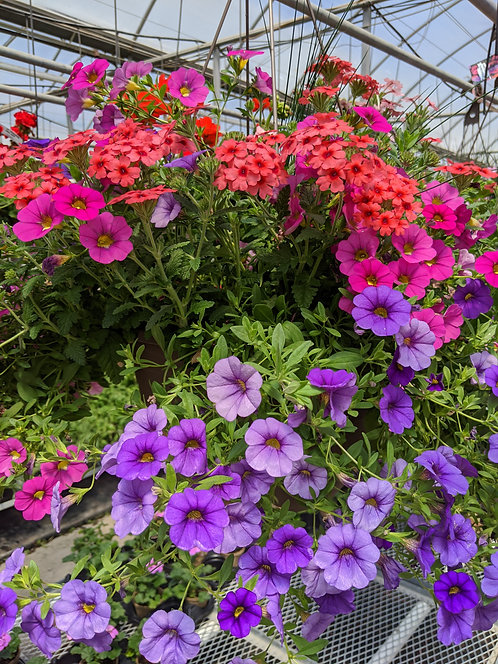 """13"""" Assorted Trailing Annual Mixes Hanging Baskets"""