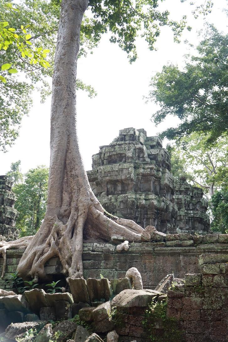 Viidakko valtaa temppelialuetta vähän kerrallaan.