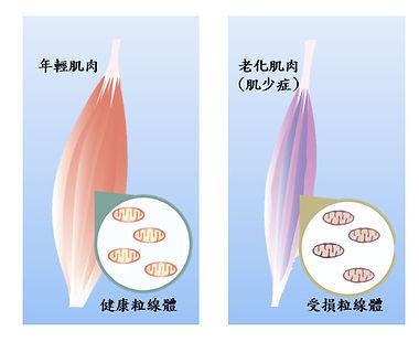 PS23青春益生菌-抗老益生菌-蔡英傑-肌少症.jpg