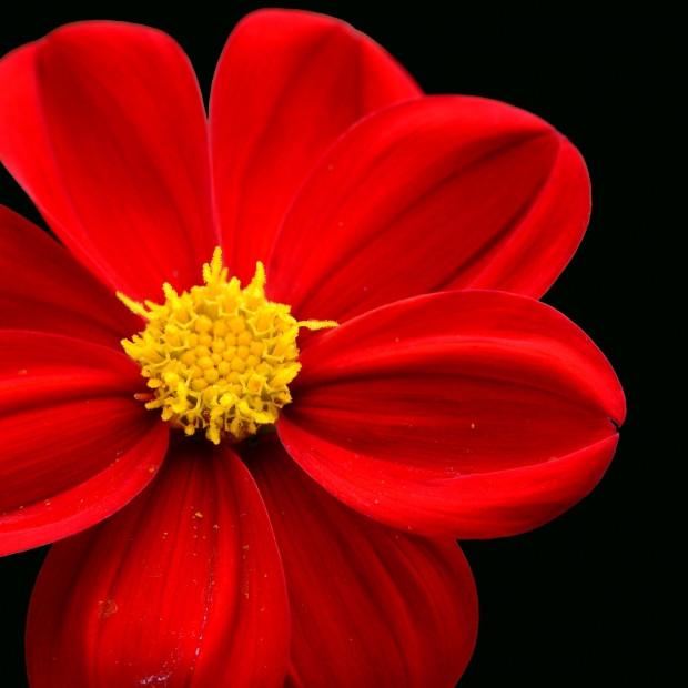 fleur rouge.jpg