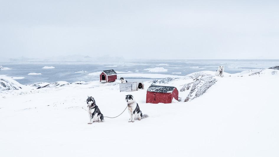 Chiens de traineau et musher, Groenland