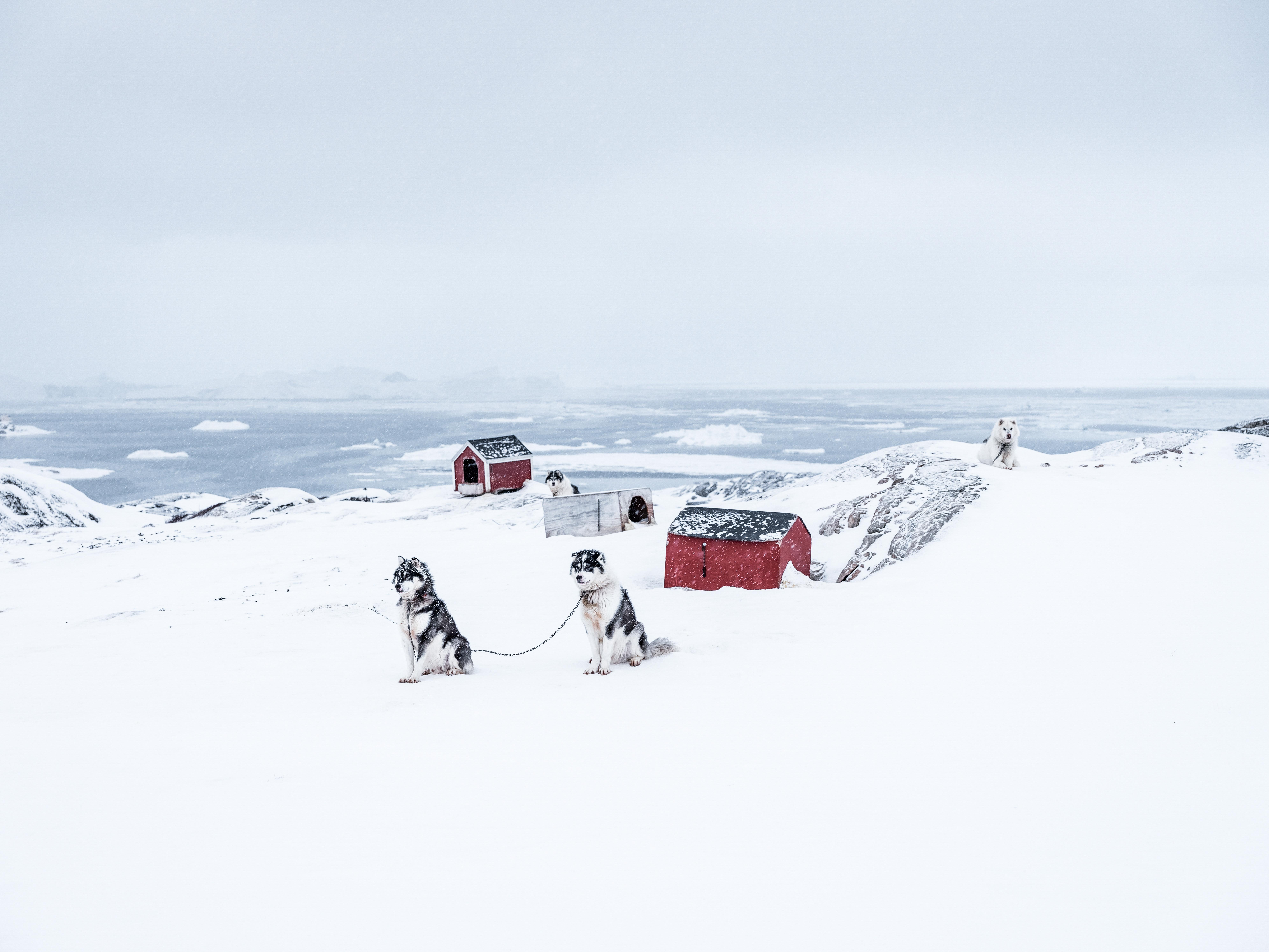Chiens de traineau et musher au Groenlan