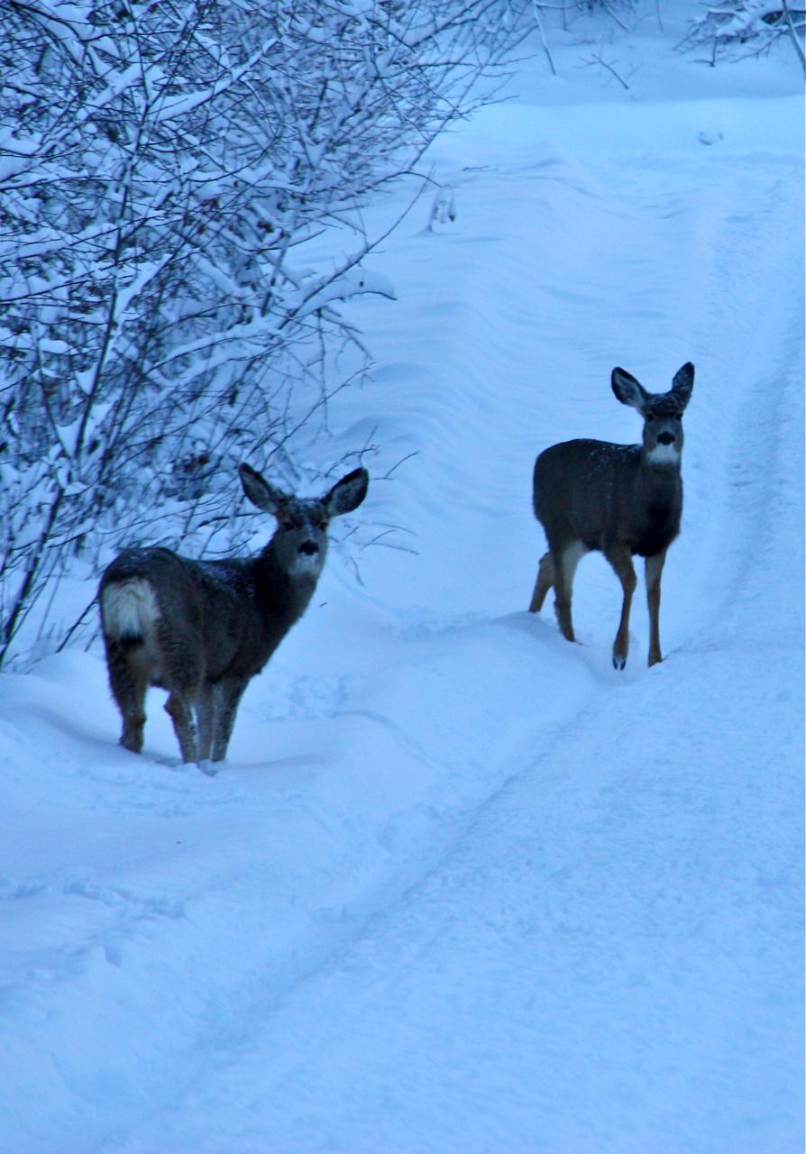 Deer in the Driveway