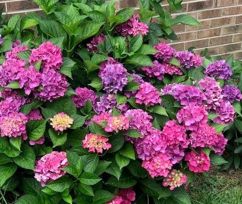 Hydrangea flourishing