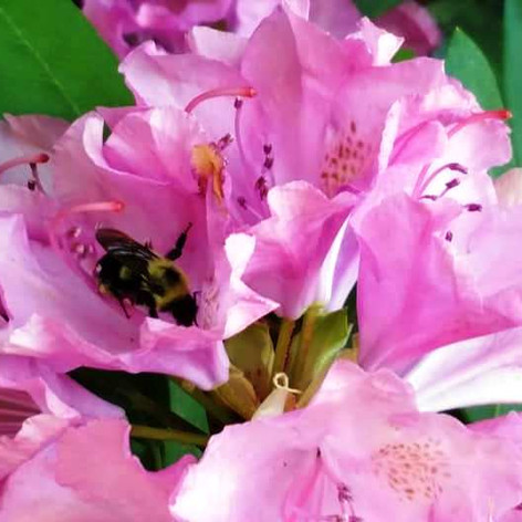 Bees enjoying my rhododendron