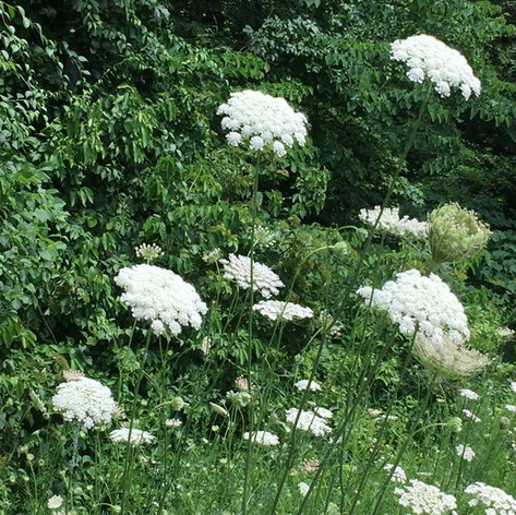 Queens Anne's lace growing wild