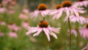 Missoula_Montana_Flower_Echinacea.JPG