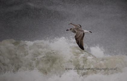 Greater Black Backed Gull
