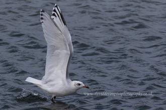Mediterranean Gull