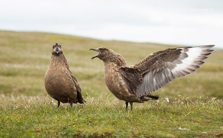 Bonxie or Great Skua