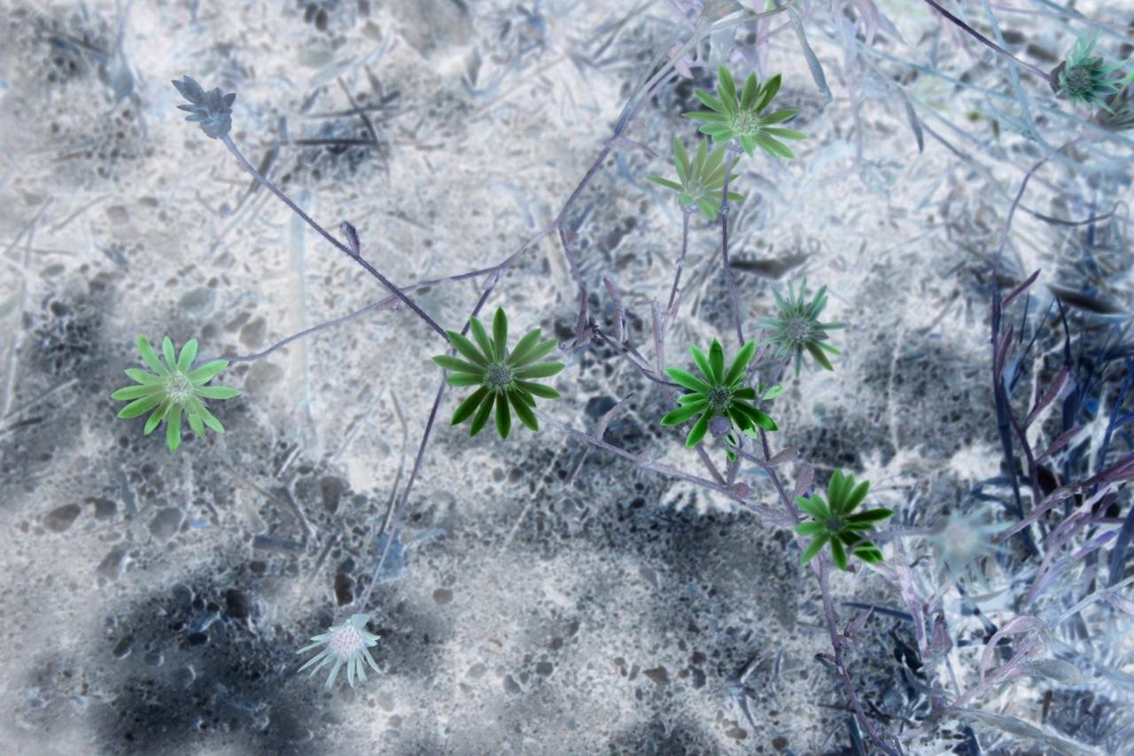 Tufa flowers, 2012