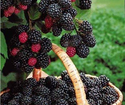 The Blackberry Principle.