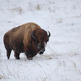 6979_bison.JPG