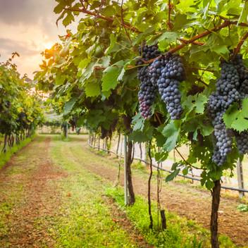 Coho Wines