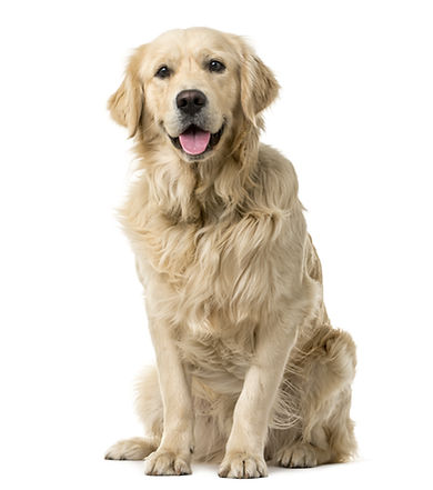 Golden Retriever sitting in front of a w
