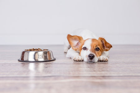 cute small dog waiting for meal or dinne