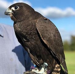Hawking about falcon.jpg