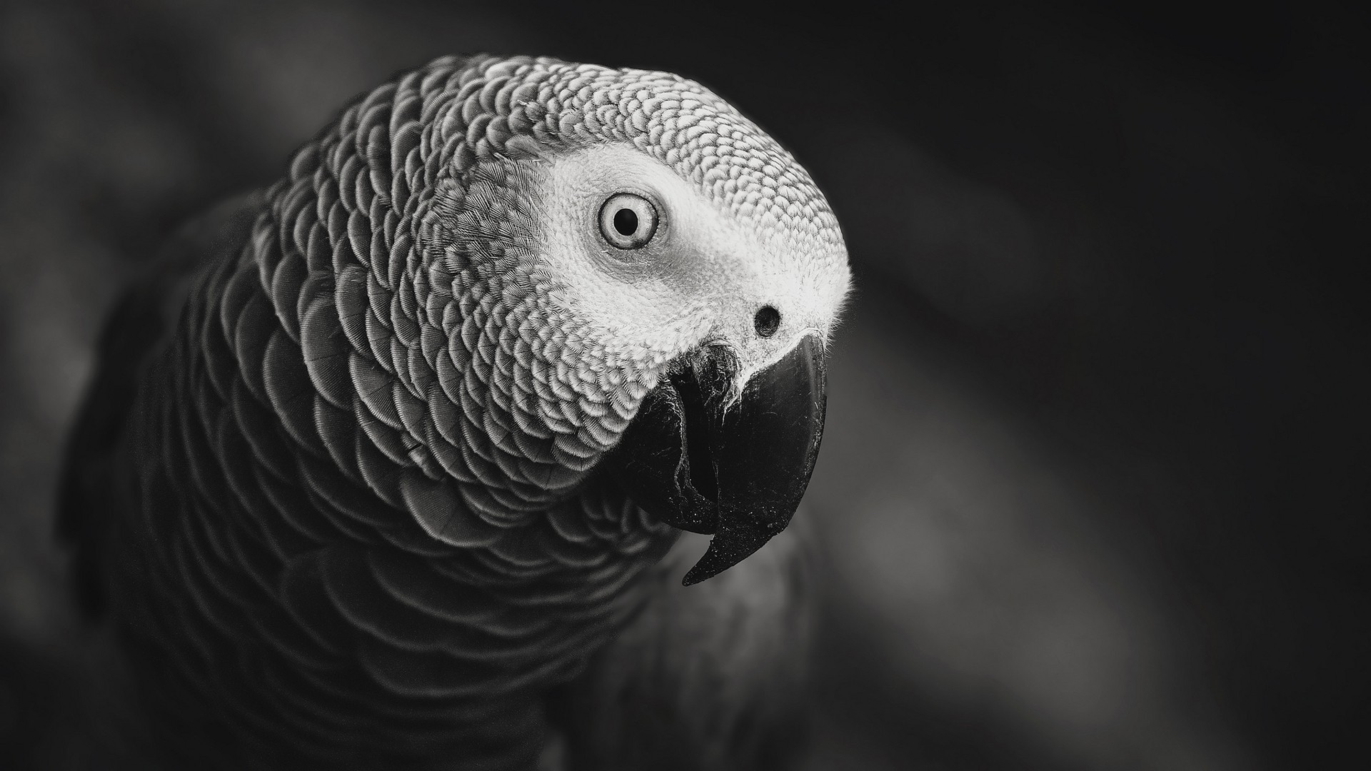 Animals___Birds_Black_and_white_photo_of_a_parrot_108446_
