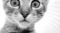 8LEoFGj-black-and-white-cat-wallpaper