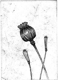 Poppy head etching001.jpg