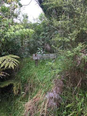 The track forks shortly after entering to branch off to Taumata Track - marked closed for Kauri Dieback