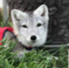 save-a-fox-adopted-foxes-yui-arctic-fox-