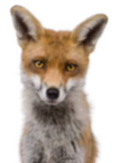 slider-home-fox-front-view-581x826 (1).p