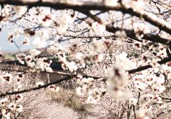 barack_viragzas_flowering_csige_kert