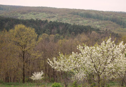 viragzik_a_meggyes_orchard_spring_forest