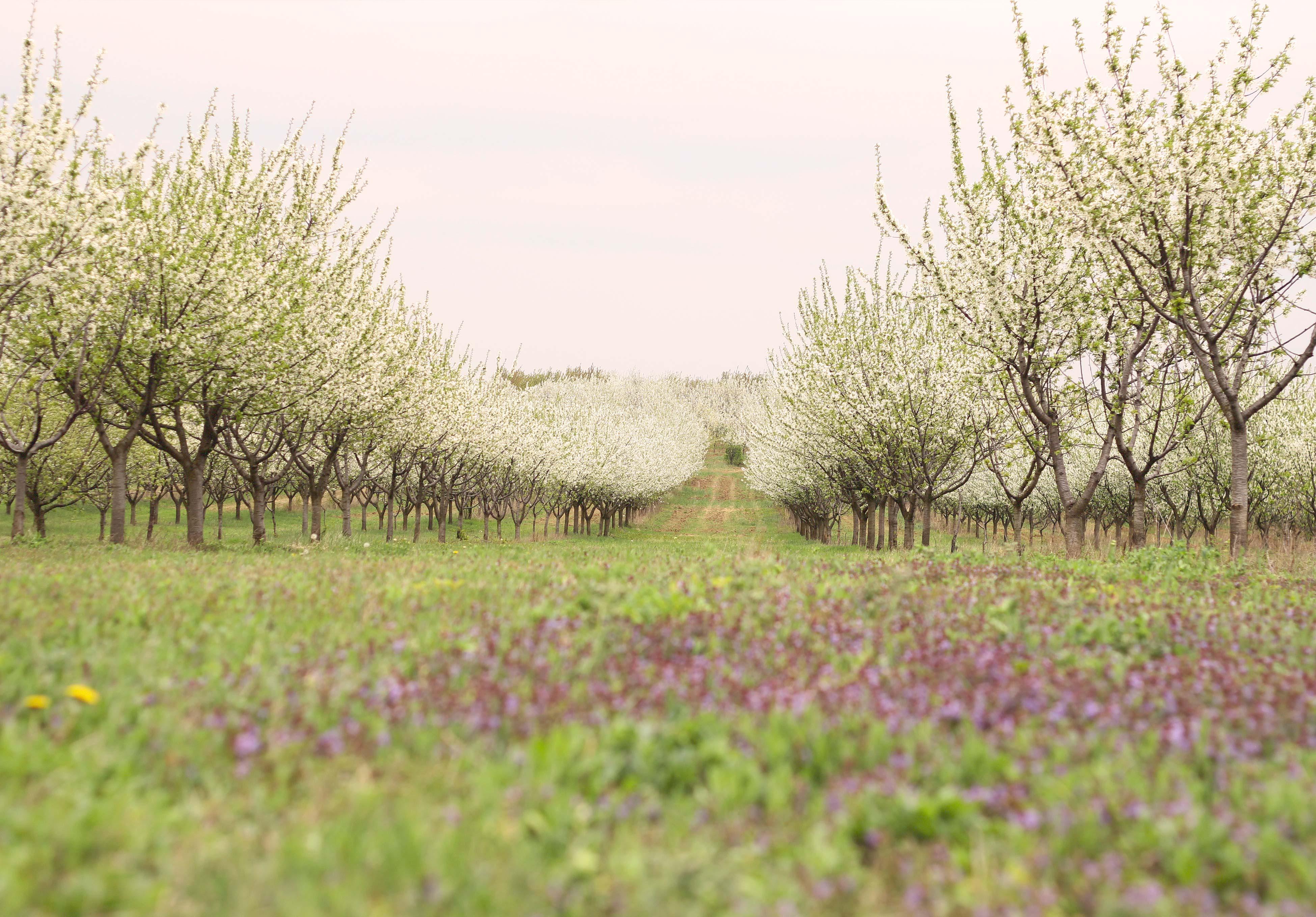megy_csige_spring_tavasz_orchards