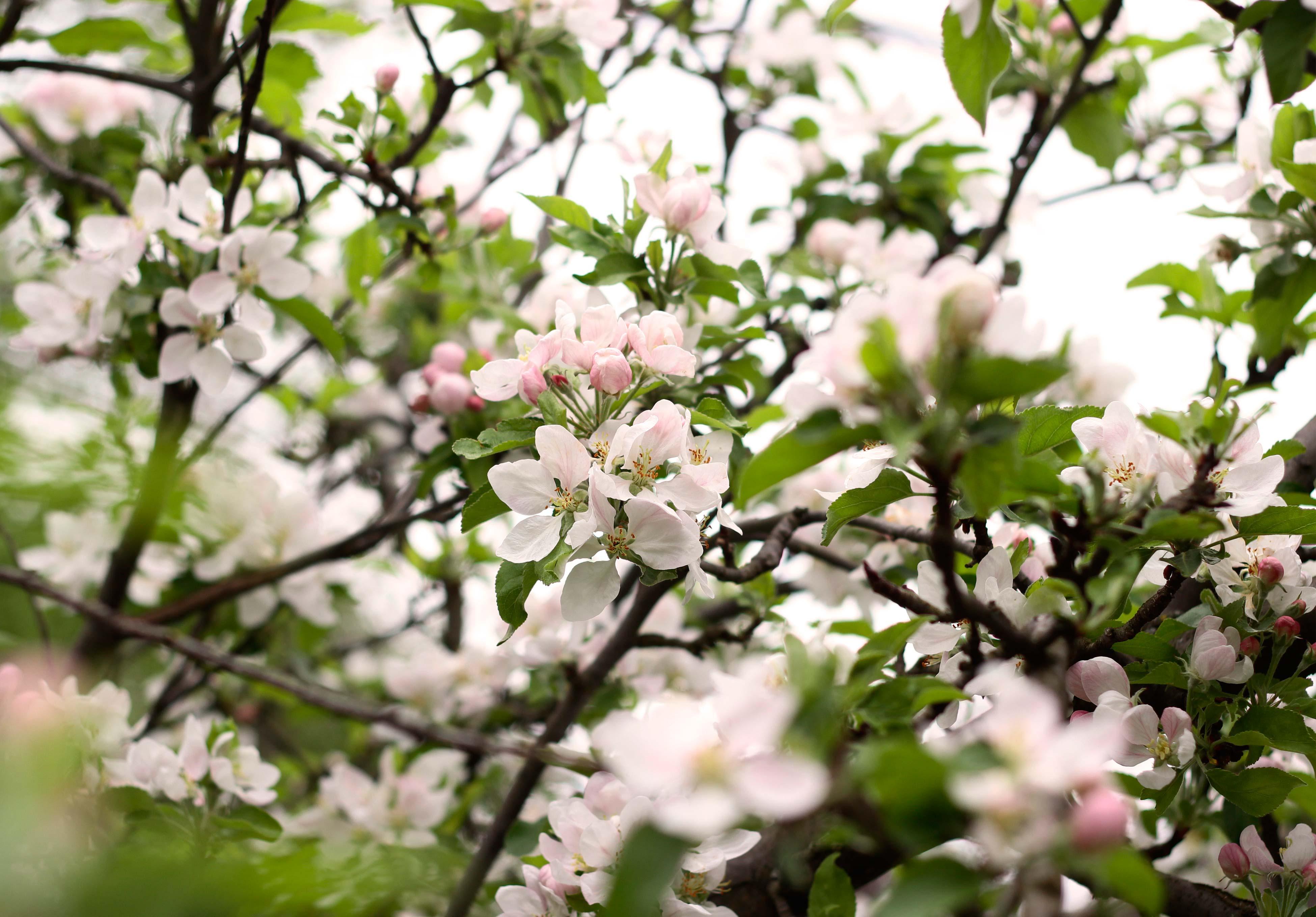 viragzik_az_alma_apple_blooming_csige_ke