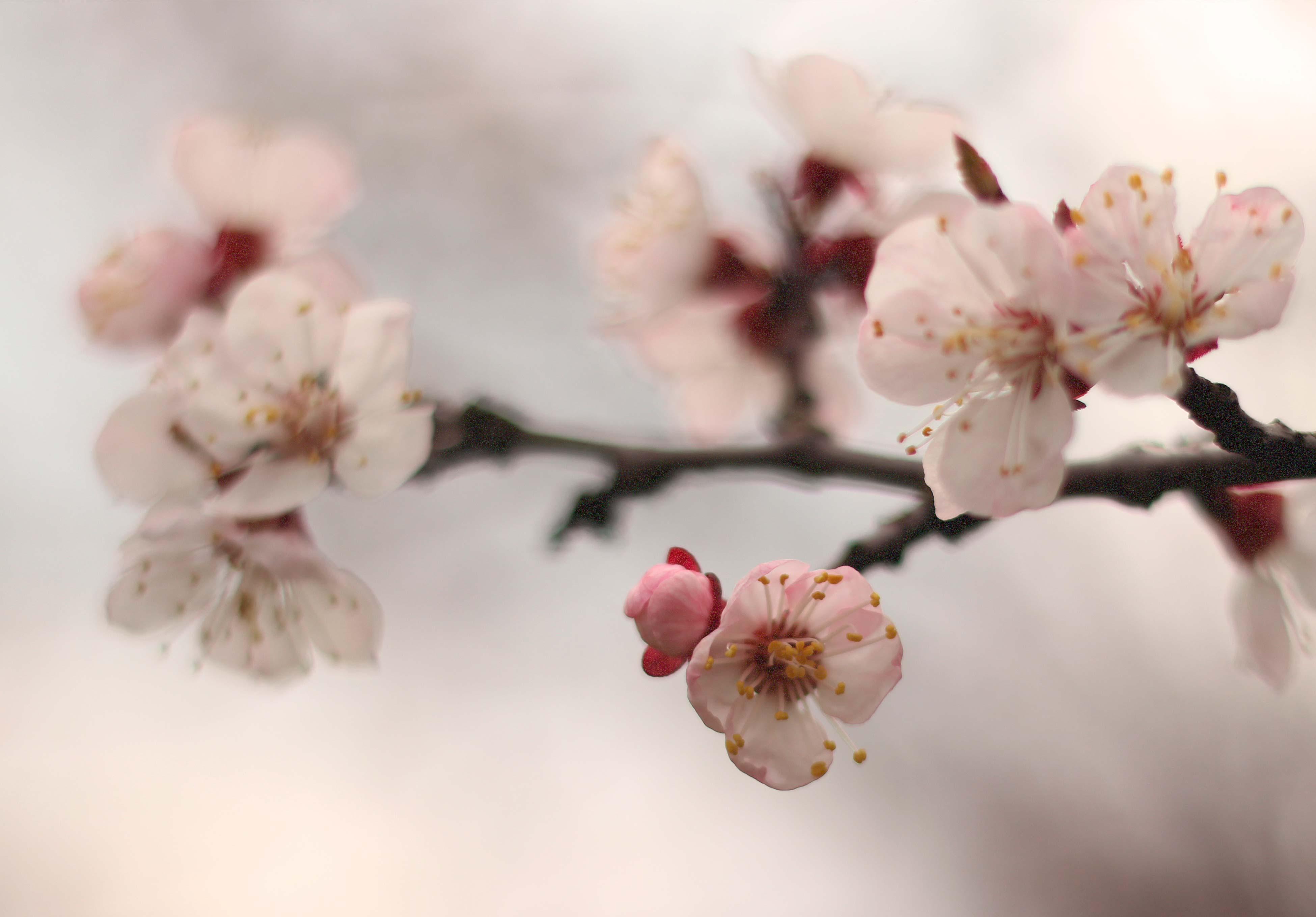 sargabarack_palinka_snapsz_blooming_rozs
