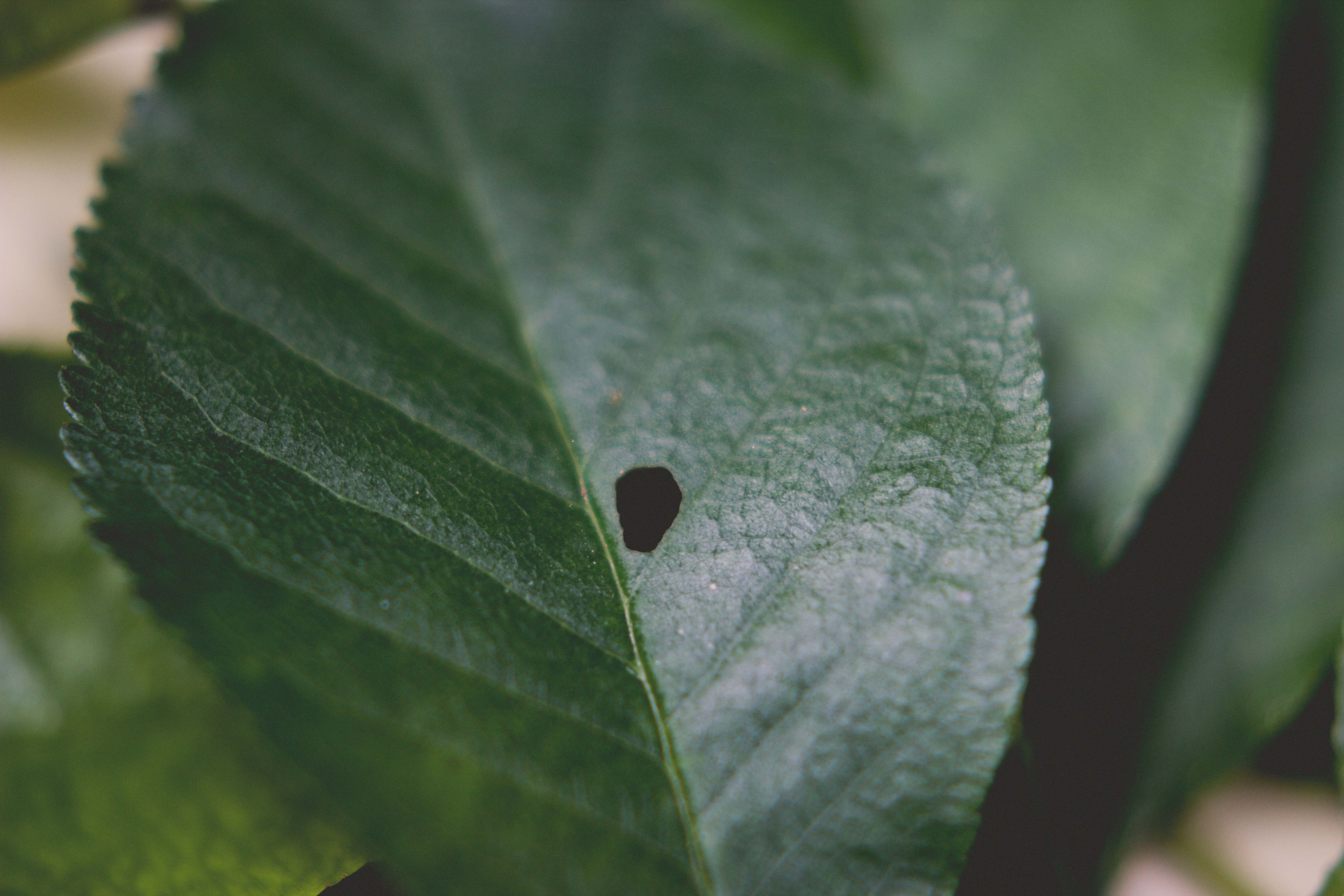 meggy_leaf_csige_kert_level_sourcherry