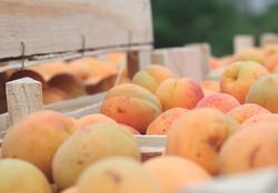 export_sarga_apricot_csige_kert