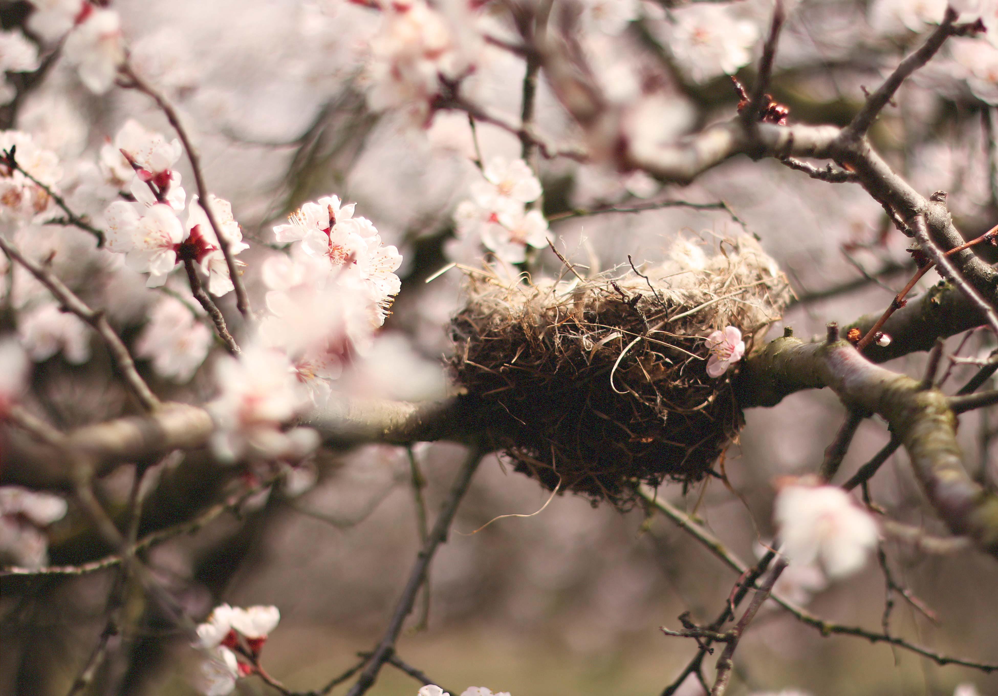 madarbarat_birdsnest_apricot_orchard_csi