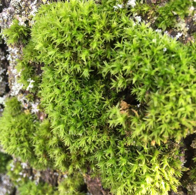Star shaped moss or lichen?
