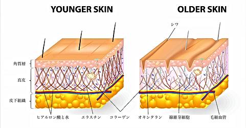 若い肌と老いた肌の比較図で、ヒアルロン酸と水、エラスチン、コラーゲン、オキシタラン、シワ、線維芽細胞、毛細血管の図解