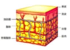 皮下組織の構造で脂肪組織、リンパ細胞、マクロファージ、毛細管、メラノサイト、細網線維、マスト細胞、エラスチン線維、コラーゲン線維の図解