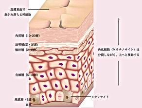 詳しい表皮の構造図