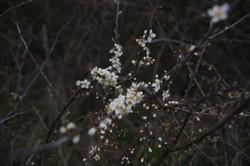 Roncier en fleur