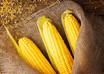 24 de abril - Dia Internacional do Milho