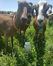 goats in pasture with raw milk2.jpeg