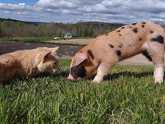 Pig and cat.jpg