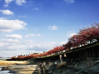 岡崎河津桜