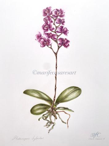 Magenta Phalaenopsis hybrid