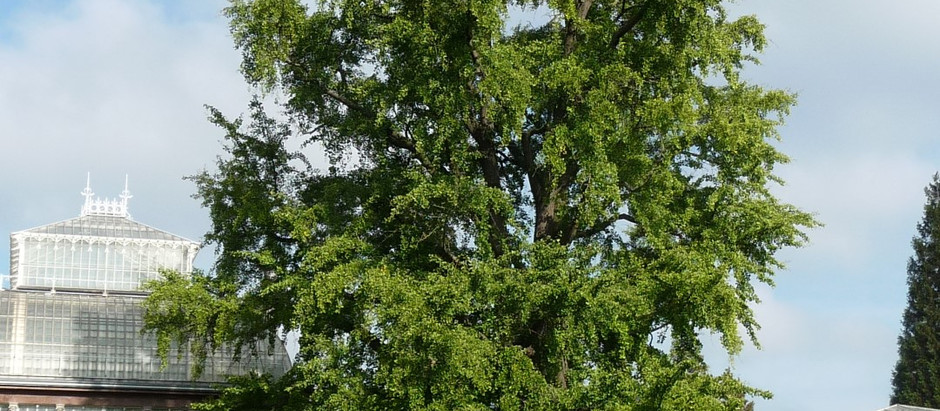 Researchers Crack Secrets of Ginkgo Trees' Near-Immortality