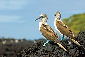 baltra-blue-footed-booby.jpg