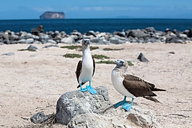 blue-footed-booby2.jpg