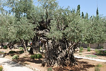 Olive_Trees_in_the_Garden_of_Gethsemane.